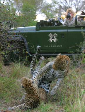 Londolozi open vehicle game drive